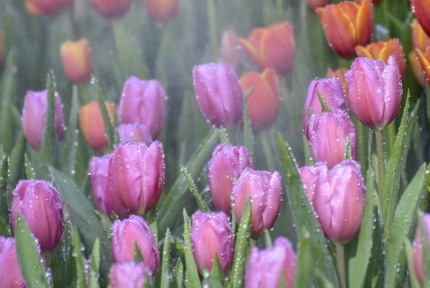 Purple Tulips In Beautiful Gardens Photo Premium