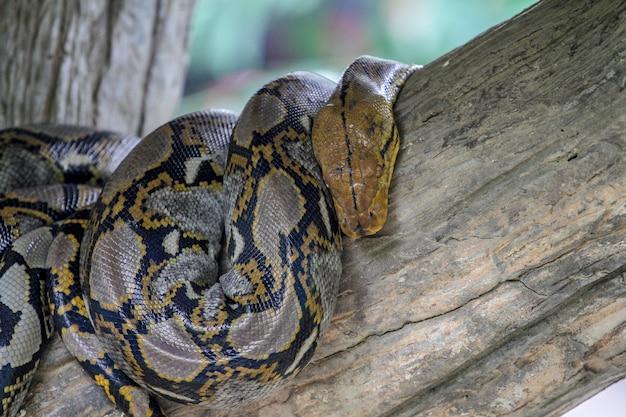 Python de birmanie sur bâton Photo Premium