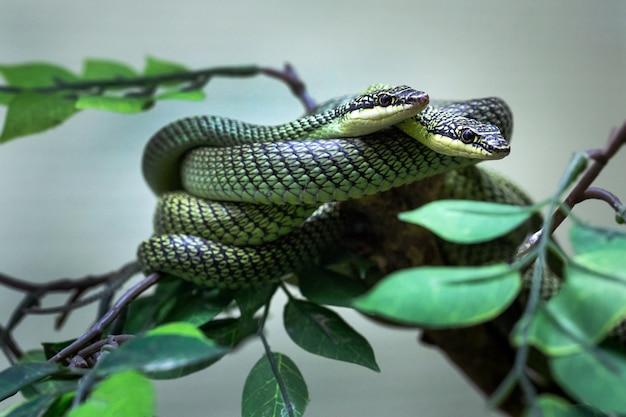 Quillards Peints Dans L'atmosphère Naturelle Du Zoo. Photo Premium