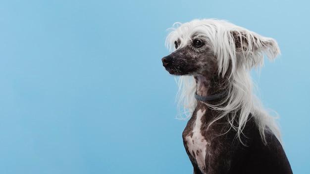 Race de chien à crête chinoise avec espace de copie Photo gratuit