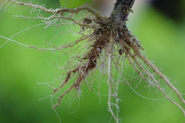 Racines d'une plante avec le fond vert Photo gratuit