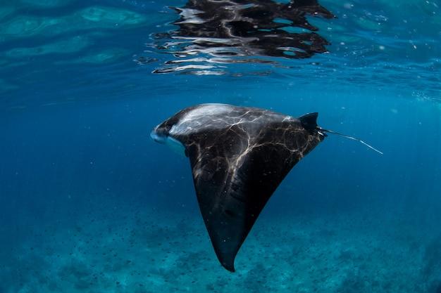Raies manta dans la baie de hanifaru, maldives Photo Premium