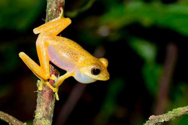 Rainette dorée, cuisses de grenouille naine, aquixalus gracilipes Photo Premium