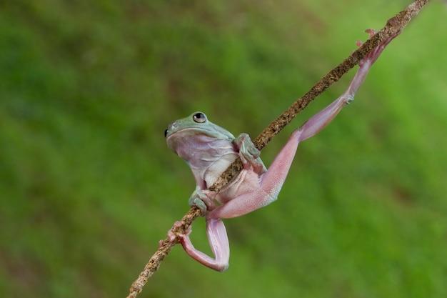 Rainette verte australienne sur fond naturel Photo Premium