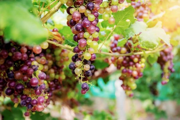 Raisins Sur Arbre Dans Vignoble. Photo Premium