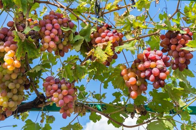 Raisins, dans, vignoble Photo Premium