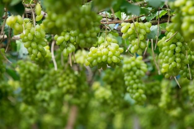 Raisins verts suspendus à un buisson Photo Premium