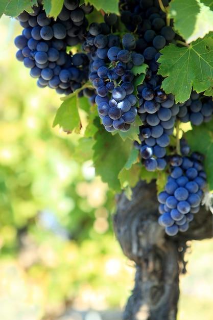 Raisins de vin rouge Photo gratuit