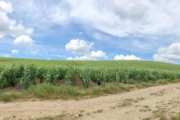 Rangée De Vigne Dans Les Vignobles De Champagne à La Montagne De Reims, France Photo Premium