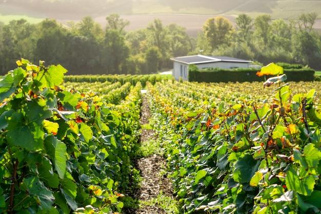 Rangée De Vigne Dans Les Vignobles De Champagne à La Montagne De Reims Photo Premium
