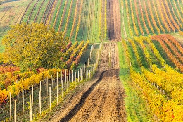 Rangées colorées de vignes en automne, route de campagne entre vignes, Photo Premium