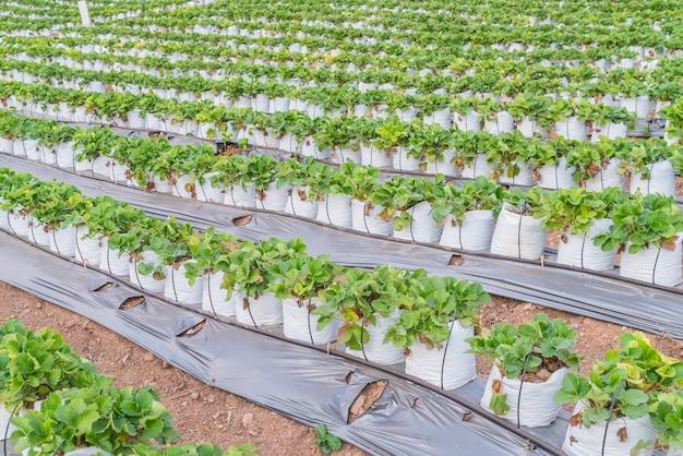 Des rangées de fraises. Photo gratuit