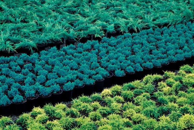 Rangées de plantes en pot en pépinière Photo Premium