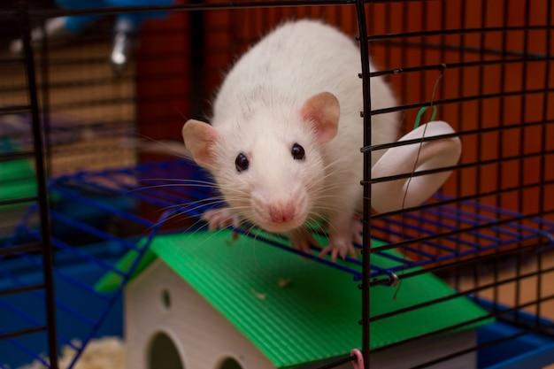 Rat de compagnie regardant depuis une cage ouverte. rat dumbo domestique blanc. Photo Premium