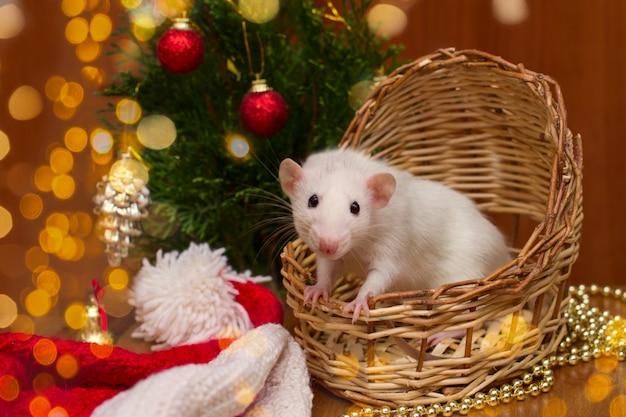 Rat domestique blanc dans un panier avec sapin de noël Photo Premium