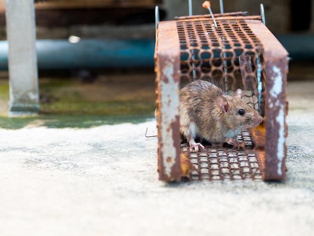 Le rat est piégé dans une cage ou un piège. le rat sale a contagion de la maladie à l'homme Photo Premium