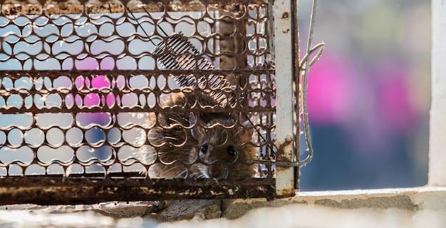 Le rat est piégé dans une cage ou un piège. Photo Premium
