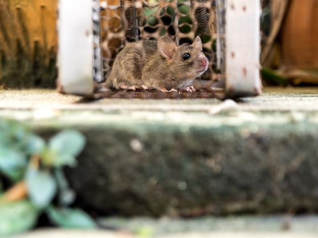 Le rat était dans une cage attrapant un rat Photo Premium