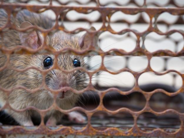 Le rat était en train de capturer. rat a contagion la maladie aux humains tels que leptospiro Photo Premium