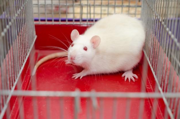 Rat de laboratoire blanc effrayé dans une cage Photo Premium
