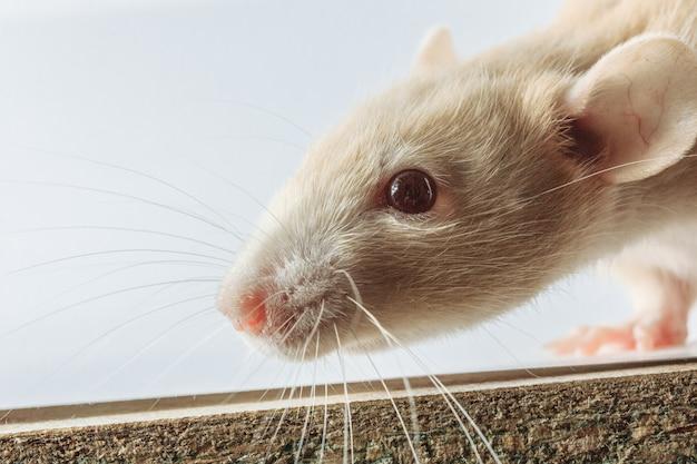 Rat de laboratoire blanc isolé sur fond blanc Photo Premium