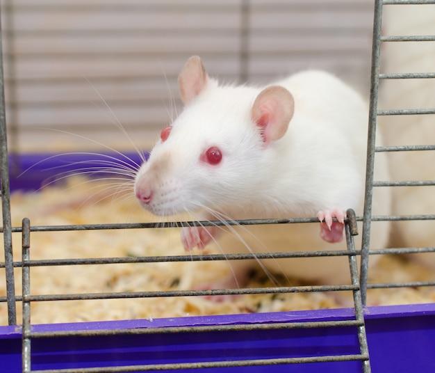 Rat de laboratoire blanc regardant dans une cage (mise au point sélective sur les yeux du rat) Photo Premium