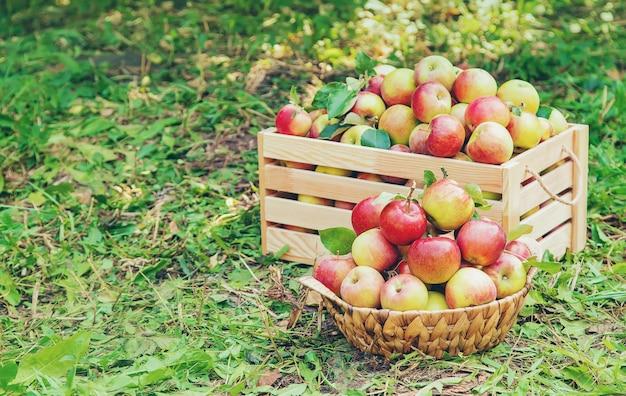 Récolte des pommes dans une boîte sur un arbre dans le jardin Photo Premium