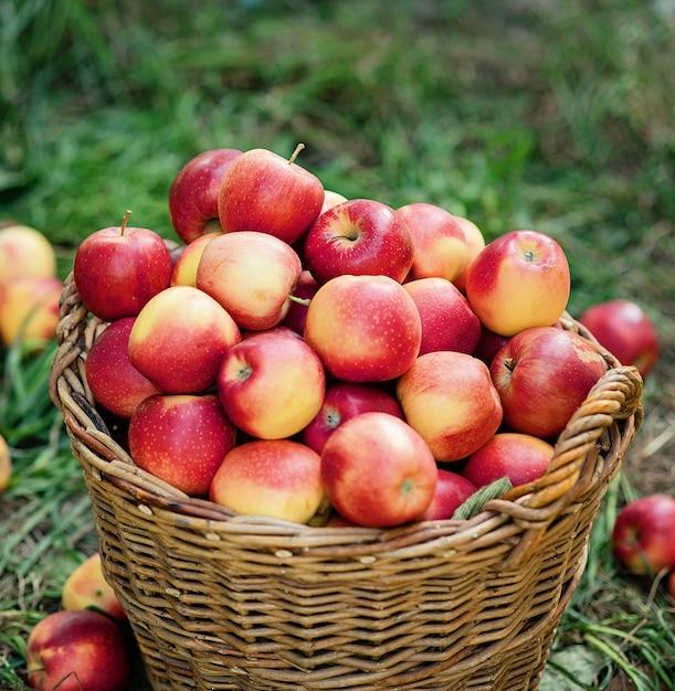 Récolte de pommes. pommes rouges mûres dans le panier sur l'herbe verte. Photo Premium