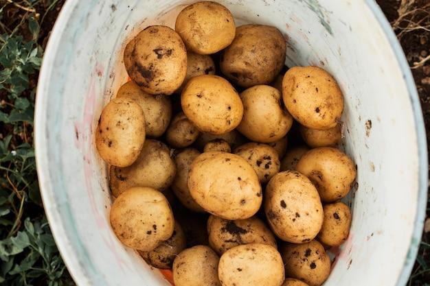 Récolte de pommes de terre dans un seau blanc Photo gratuit