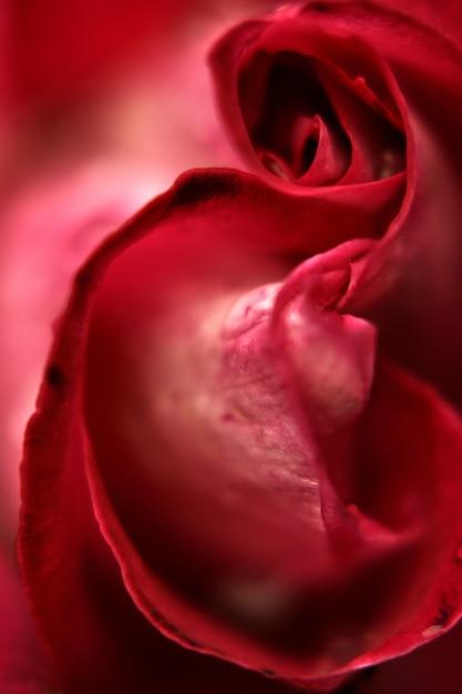 Red rose détail Photo gratuit