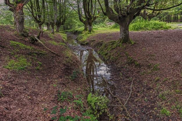 Reflets sur un petit ruisseau entre une forêt de hêtres de rêve Photo Premium