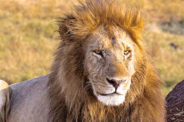 Regard Attentif Du Propriétaire De La Savane Masai Mara Kenya Photo Premium