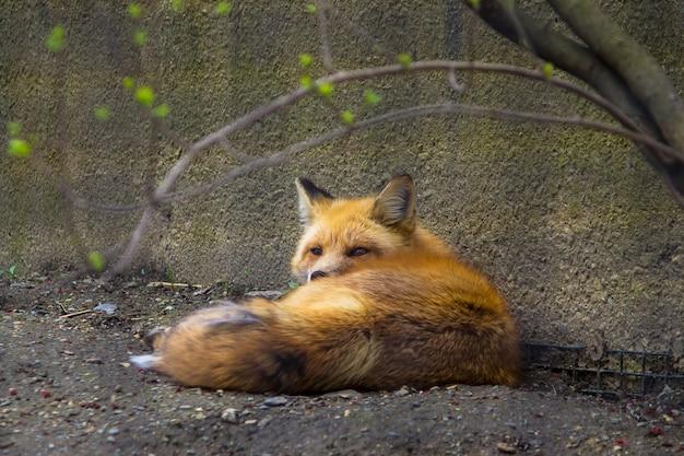 Renard Mignon Mignon Sauvage Couché Sur Le Sol Près D'un Mur Dans Un Zoo Photo gratuit
