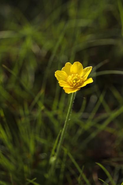 Renoncule D'automne, Bouton D'or, Ranunculus Bullatus Photo gratuit