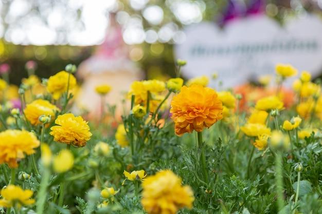 Renoncule Jaune Dans Le Jardin Photo Premium