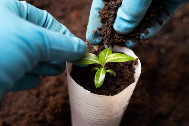Repiquage des plants. processus de croissance bigorneau Photo Premium