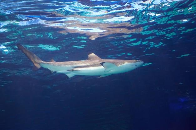 Requin De Récif Des Caraïbes (carcharhinus Perezii) Dans L'eau De L'océan Bleu Photo Premium