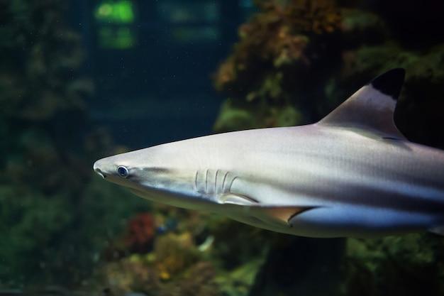 Requins de récif blacktip nageant dans les eaux tropicales sur récif de corail Photo Premium