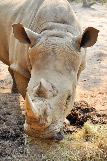 Rhinocéros blanc Photo Premium