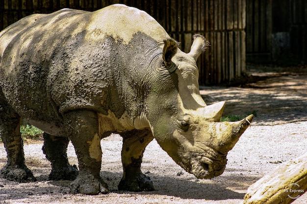 Un Rhinocéros Boueux Dans Un Zoo Photo gratuit