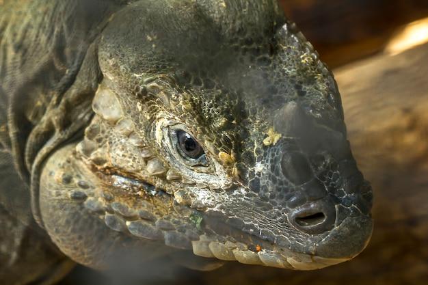Rhinocéros iguane faune rare. Photo Premium