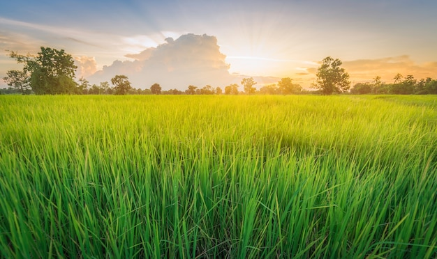 Riz Champ Vert Herbe Paysage Coucher De Soleil Photo Premium