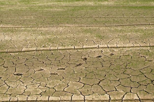 Riz dans le champ sans eau Photo Premium
