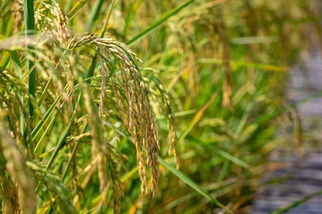 Riz doré cru dans une ferme agricole de près pour repérer la zone ciblée Photo Premium
