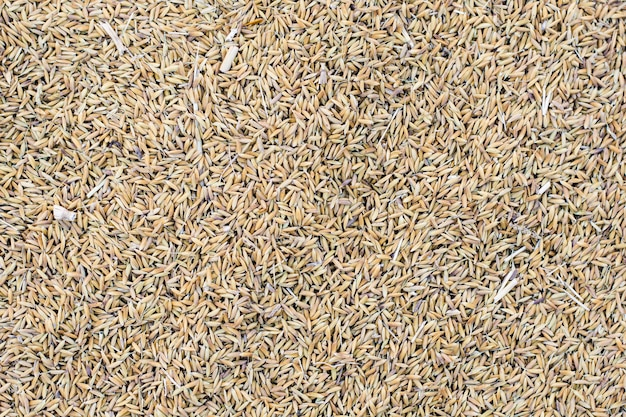 Riz Paddy Pour Le Fond Photo Premium