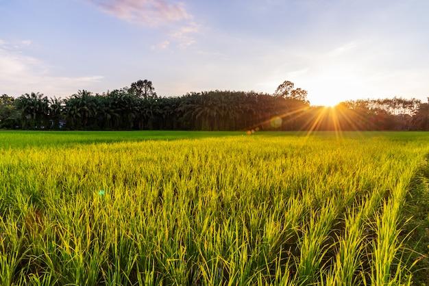 Rizière avec lever ou coucher de soleil et rayon de soleil Photo Premium