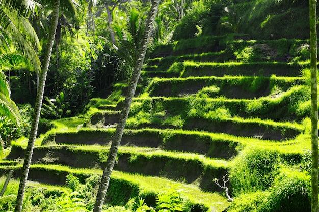 Rizières En Terrasse à Ubud à Bali, Indonésie Photo Premium
