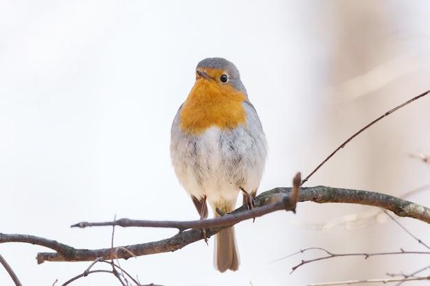 Robin sur une branche Photo Premium