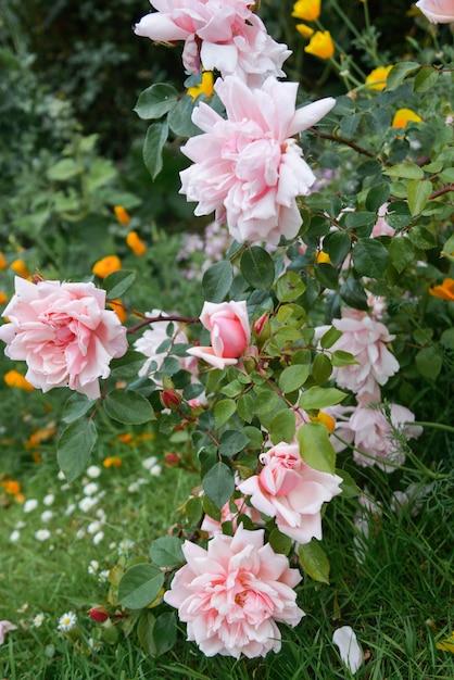 Rose anglaise rose des fleurs qui poussent dans le jardin, heure d'été. Photo Premium