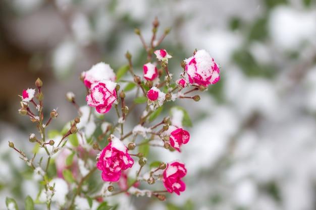 La rose dans la neige la neige repose sur la rose gelée. début de l'hiver Photo Premium